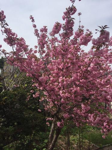 桜が満開のこの日をワクワク待ち望んで