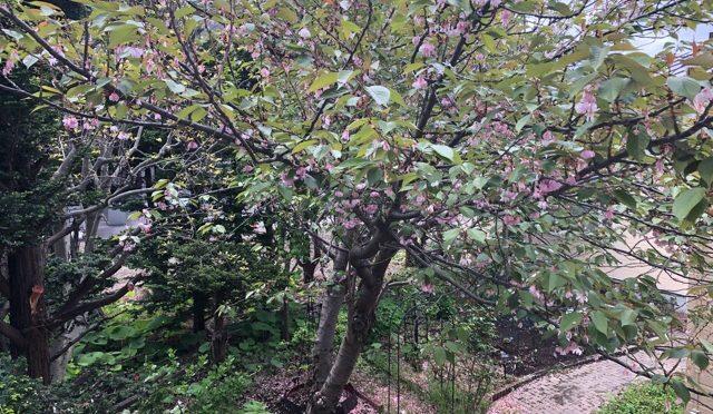 あっという間に、葉桜に